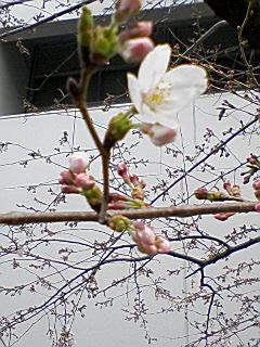 桜はまだ咲かない