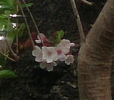 Hazakura2