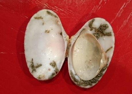 貝の中に貝殻