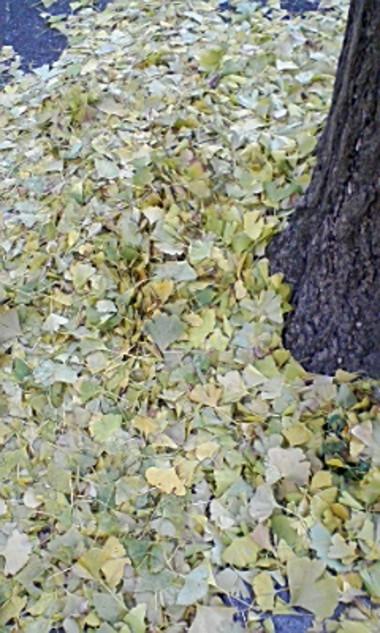イチョウの枯れ葉