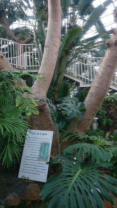 パラゴムノキ(函館市熱帯植物園)