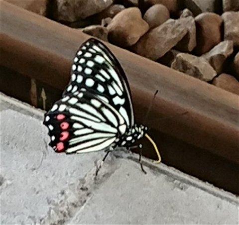 アカボシゴマダラ