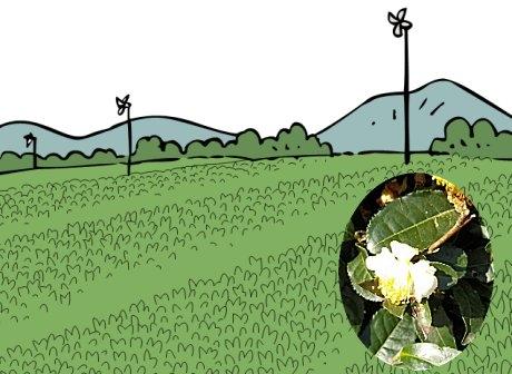 茶畑とチャの花