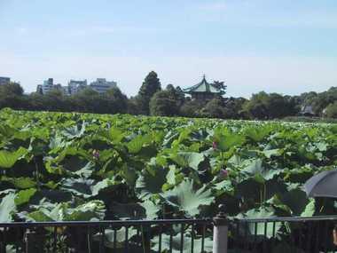 上野の不忍池のハス